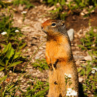 Local resident ground squirrel at Logan Pass  will perform for food .