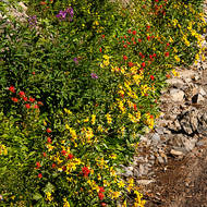 Colorful roadside wild flowers at Logan Pass.