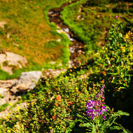 Flowers and valley at Logan Pass.