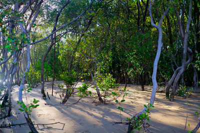 Thumbnail image ofEarly morning sun through the mangroves on the...