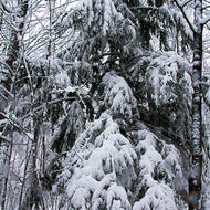 Heavily laden trees from the overnight dumping of snow.