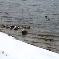 Nice weather for ducks on Kempenfelt Bay, Lake Simcoe.