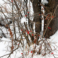 Red berries against the snow.