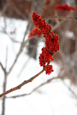 Thumbnail image ofRed flower, snowy backdrop.