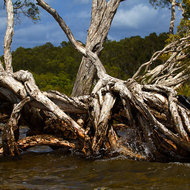 Submerged and twisted roots of a paperbark tree at Mill Point.