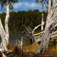 Splintered, living and dead trees at Mill Point.