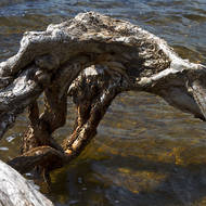 Roots of a paperbark tree seem to resist contact with the saline waters of the lake.