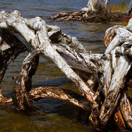Twisted roots of a paperbark tree at Mill Point.