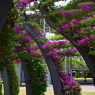 Bougainvillea covered walkway in the South Bank parklands.