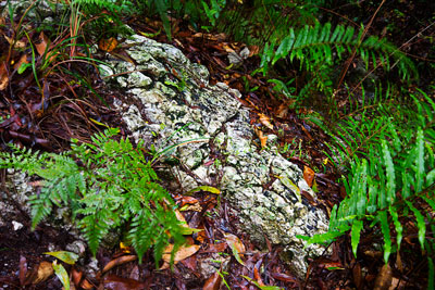 Thumbnail image ofRocky lichen covered rock amongst the ferns in...