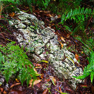 Rocky lichen covered rock amongst the ferns in the rain.