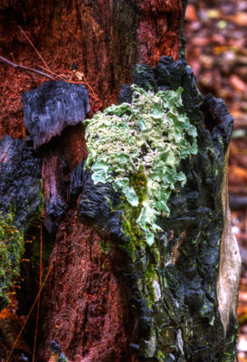 Thumbnail image of Fungi growing on an old tree stump.