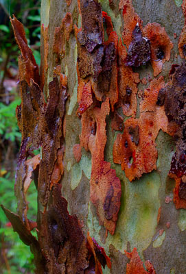 Thumbnail image of Colorful bark of a gum tree in the rain.