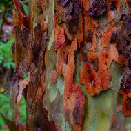 Colorful bark of a gum tree in the rain.