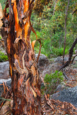 Thumbnail image ofGnarled and twisted trunk of a tree growing on...