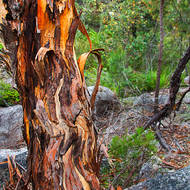 Gnarled and twisted trunk of a tree growing on the granite plateau.
