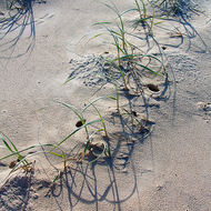 Grasses in the sand.