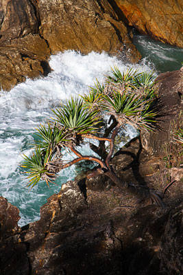 Thumbnail image ofHow does the Pandanus tree survive the wind and...