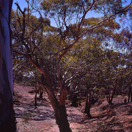 Dry creek bed and stunted gum trees in desert country.