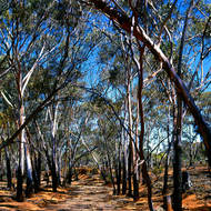 An avenue of gum trees shade a dry creek bed.