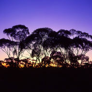 The sunset s afterglow silhouettes gum trees.