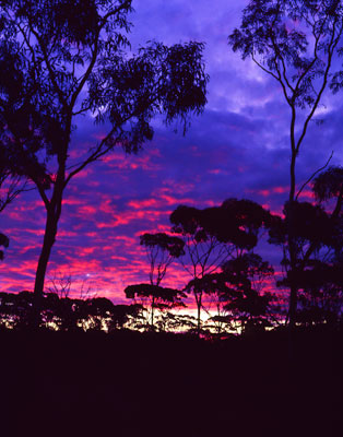 Thumbnail image ofClouds reflect the sun now set over the gum trees.