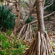 Buttressing roots of Pandanus trees, pandanus utilis.