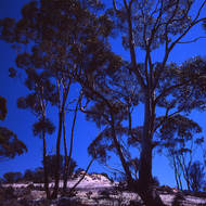 Rough quartzy terrain with gum trees and blue sky.