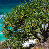 Looking east over the ocean past a fruiting Pandanus Tree, pandanus utilis.