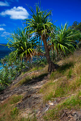 Thumbnail image ofScarecrow disguised as a Pandanus tree.