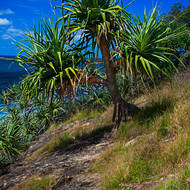 Scarecrow disguised as a Pandanus tree.