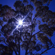 The leaves of a back lit gum tree light up.