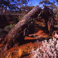 Red desert dirt, salt bush and gum trees.