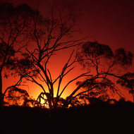 Brilliant sunset against a gum tree.