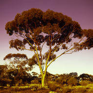 Gum tree faces the setting sun.