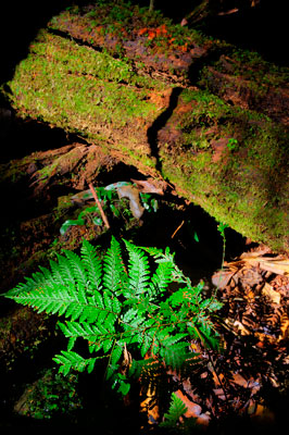 Thumbnail image ofA small fern thrives from the rainforest floor.
