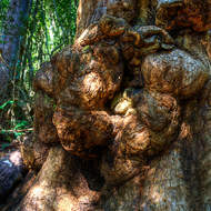 Gnarled base of a large rainforest tree.