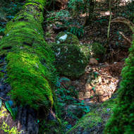 Moss covered fallen tree on the floor of the rainforest.