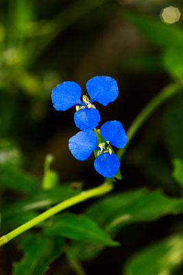 Thumbnail image ofThe brightly colored flower of the scurvy weed,...