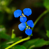 The brightly colored flower of the scurvy weed, commelina diffusa.