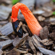 Drooping: Stinkhorn fungus, phallus rubicundus, fading away by mid-morning.
