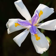 Flower of the wild iris, dietes grandiflora.