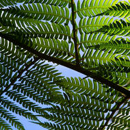 Looking up, through a fern frond.