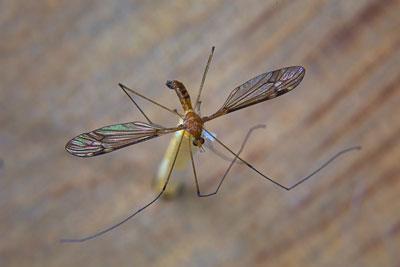 Thumbnail image ofTiger crane fly, nephrotoma australasiae.