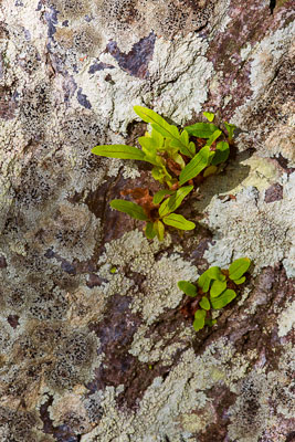 Thumbnail image ofSmall ferns find root in cracks in a sedimentary...