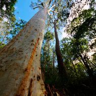 Tall timber, gum tree in the forest.