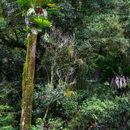 A Staghorn fern, platycerium, makes its home high on a tree in the rainforest.