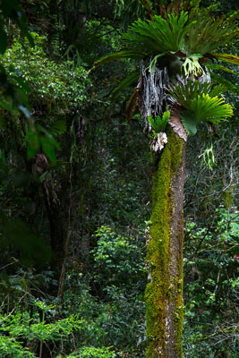 Thumbnail image ofA Staghorn fern, platycerium, makes its home high...