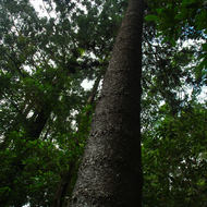 A tall Hoop Pine, araucaria cunninghamii, reaches up to the light in the rainforest.