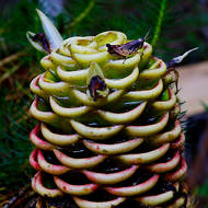 A grasshopper feasting on the nectar of the flower of a beehive ginger plant, zingiber spectabile.